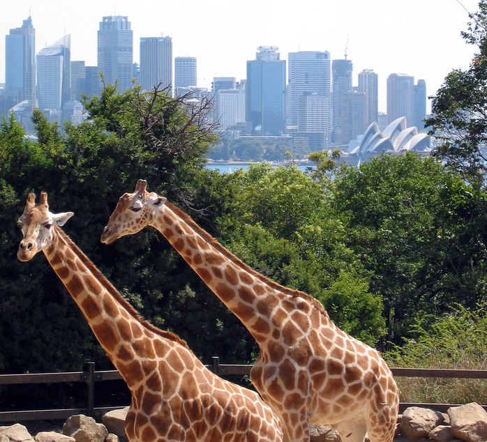 Giraffes in front of Sydney's skyline. Courtesy of Wikimedia Commons